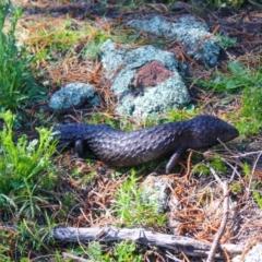 Tiliqua rugosa (Shingleback Lizard) at Downer, ACT - 11 Sep 2021 by Sarah2019