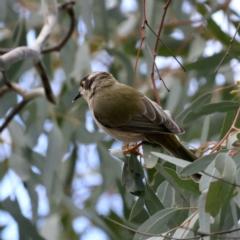 Melithreptus brevirostris (Brown-headed Honeyeater) at Majura, ACT - 16 Sep 2021 by jbromilow50
