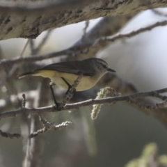 Acanthiza chrysorrhoa (Yellow-rumped Thornbill) at Holt, ACT - 15 Sep 2021 by AlisonMilton