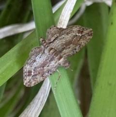 Chloroclystis (genus) (A geometer moth) at Murrumbateman, NSW - 16 Sep 2021 by SimoneC