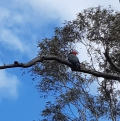 Callocephalon fimbriatum (Gang-gang Cockatoo) at Bruce, ACT - 24 Sep 2021 by alell