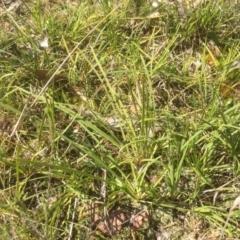 Lomandra filiformis (Wattle Mat-rush) at Bruce, ACT - 16 Sep 2021 by jgiacon