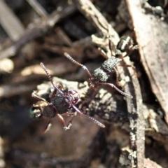 Rhytidoponera sp. (genus) (Rhytidoponera ant) at Aranda, ACT - 14 Sep 2021 by CathB
