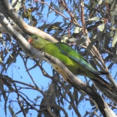 Polytelis swainsonii (Superb Parrot) at Tuggeranong DC, ACT - 16 Sep 2021 by HelenCross