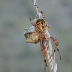 Araneinae (subfamily) (Orb weaver) at Cook, ACT - 13 Sep 2021 by CathB