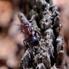 Papyrius nitidus (Shining Coconut Ant) at Holt, ACT - 17 Sep 2021 by Kurt