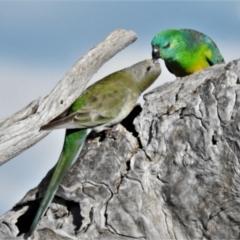 Psephotus haematonotus (Red-rumped Parrot) at Kambah, ACT - 16 Sep 2021 by JohnBundock