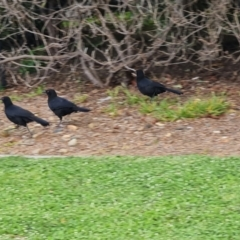 Corcorax melanorhamphos (White-winged Chough) at Isaacs, ACT - 17 Sep 2021 by Mike