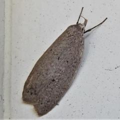 Chezala privatella (A Concealer moth) at Wanniassa, ACT - 17 Sep 2021 by JohnBundock