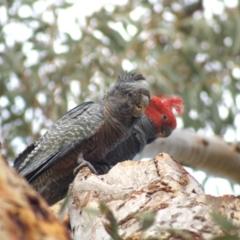Callocephalon fimbriatum (Gang-gang Cockatoo) at Aranda, ACT - 17 Sep 2021 by Amy