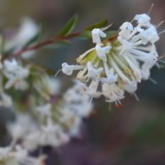 Pimelea linifolia (Slender Rice Flower) at Acton, ACT - 17 Sep 2021 by Sarah2019