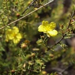 Hibbertia calycina (Lesser Guinea-flower) at Acton, ACT - 17 Sep 2021 by Sarah2019