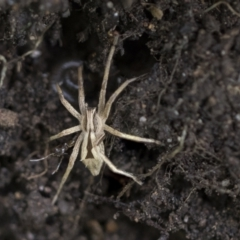Argoctenus sp. (Wandering ghost spider) at Higgins, ACT - 12 Sep 2021 by AlisonMilton