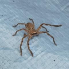 Isopeda sp. (genus) (Huntsman Spider) at Higgins, ACT - 12 Sep 2021 by AlisonMilton