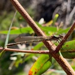 Austrolestes annulosus (Blue Ringtail) at Murrumbateman, NSW - 17 Sep 2021 by SimoneC