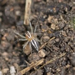 Oxyopes sp. (genus) (Lynx spider) at Higgins, ACT - 12 Sep 2021 by AlisonMilton