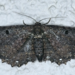 Eccymatoge fulvida (A geometer moth) at Ainslie, ACT - 16 Sep 2021 by jbromilow50