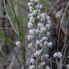 Leucopogon virgatus (Common Beard-heath) at Downer, ACT - 17 Sep 2021 by Sarah2019