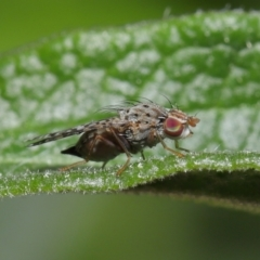 Austrotephritis sp. (genus) (Fruit fly or Seed fly) at Evatt, ACT - 13 Sep 2021 by TimL