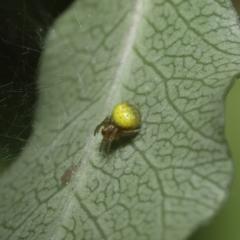 Araneus sp. (genus) (Orb weaver) at Evatt, ACT - 13 Sep 2021 by TimL