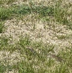 Pseudonaja textilis (Eastern Brown Snake) at Queanbeyan, NSW - 17 Sep 2021 by Ozflyfisher