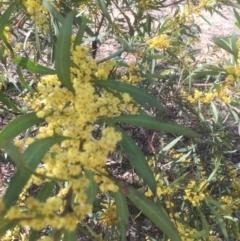 Acacia rubida (Red-leaved Wattle) at Bruce, ACT - 17 Sep 2021 by jgiacon