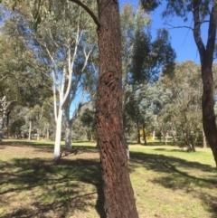 Eucalyptus sideroxylon (Mugga Ironbark) at Bruce, ACT - 17 Sep 2021 by jgiacon