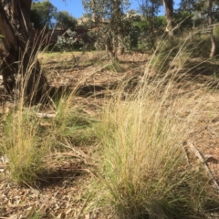 Rytidosperma pallidum (Red-anther Wallaby Grass) at Bruce, ACT - 17 Sep 2021 by jgiacon