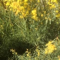 Acacia boormanii (Snowy River Wattle) at Bruce, ACT - 17 Sep 2021 by jgiacon