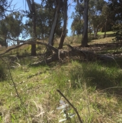 Eucalyptus globulus subsp. bicostata (Southern Blue Gum, Eurabbie) at Bruce, ACT - 17 Sep 2021 by jgiacon