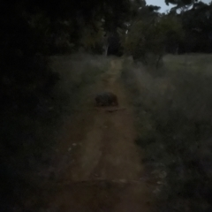 Vombatus ursinus (Common Wombat, Bare-nosed Wombat) at Curtin, ACT - 17 Sep 2021 by huwr