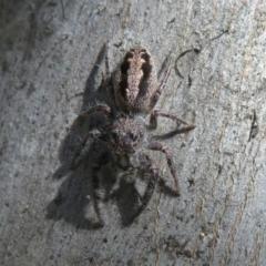 Sandalodes superbus (Ludicra Jumping Spider) at Holt, ACT - 15 Sep 2021 by Christine