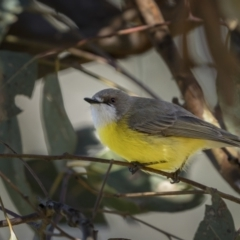 Gerygone olivacea (White-throated Gerygone) at Majura, ACT - 17 Sep 2021 by trevsci