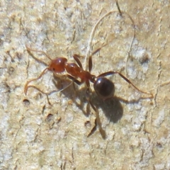Papyrius nitidus (Shining Coconut Ant) at Holt, ACT - 15 Sep 2021 by Christine