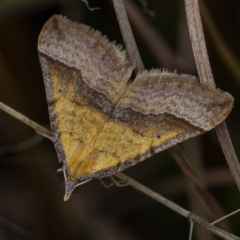 Anachloris subochraria (Golden Grass Carpet) at Googong, NSW - 18 Sep 2021 by WHall