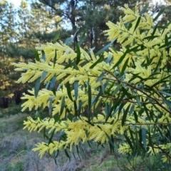 Acacia floribunda (White Sally Wattle, Gossamer Wattle) at Isaacs, ACT - 18 Sep 2021 by Mike