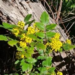 Berberis aquifolium (Oregon grape) at Isaacs, ACT - 18 Sep 2021 by Mike
