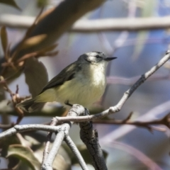 Acanthiza chrysorrhoa (Yellow-rumped Thornbill) at Hawker, ACT - 6 Sep 2021 by AlisonMilton
