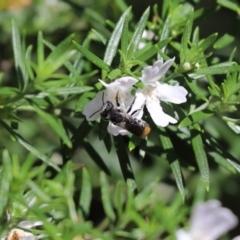 Megachile (Hackeriapis) oblonga (A Megachild bee) at Cook, ACT - 14 Feb 2021 by Tammy