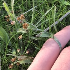 Luzula densiflora (Dense Wood-rush) at Deakin, ACT - 14 Sep 2021 by Tapirlord