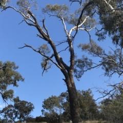 Eucalyptus melliodora (Yellow Box) at Deakin, ACT - 14 Sep 2021 by Tapirlord