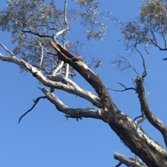 Callocephalon fimbriatum (Gang-gang Cockatoo) at Deakin, ACT - 14 Sep 2021 by Tapirlord