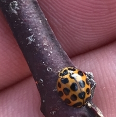 Harmonia conformis (Common Spotted Ladybird) at Deakin, ACT - 14 Sep 2021 by Tapirlord