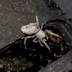 Philoponella congregabilis (Social house spider) at Higgins, ACT - 26 Aug 2021 by AlisonMilton