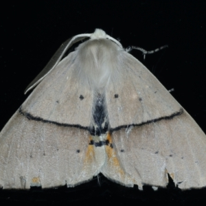 Gastrophora henricaria at Ainslie, ACT - 17 Sep 2021
