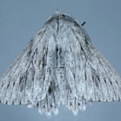 Cyneoterpna wilsoni (Cyneoterpna wilsoni) at Ainslie, ACT - 17 Sep 2021 by jbromilow50
