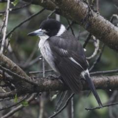 Cracticus torquatus (Grey Butcherbird) at Higgins, ACT - 29 Aug 2021 by AlisonMilton