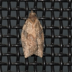 Epiphyas sp. (genus) (A Tortrid moth) at Higgins, ACT - 26 Aug 2021 by AlisonMilton