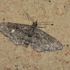 Chloroclystis (genus) (A geometer moth) at Higgins, ACT - 26 Aug 2021 by AlisonMilton