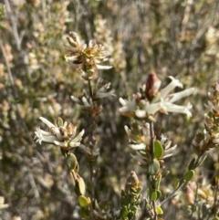 Brachyloma daphnoides (Daphne Heath) at Majura, ACT - 18 Sep 2021 by JaneR